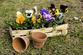 The plants of the month for March are pansies and violas